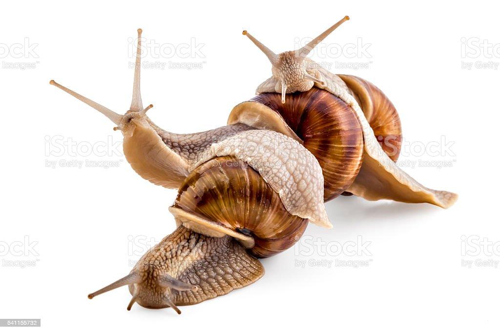 Garden snails, Helix aspersa stock photo