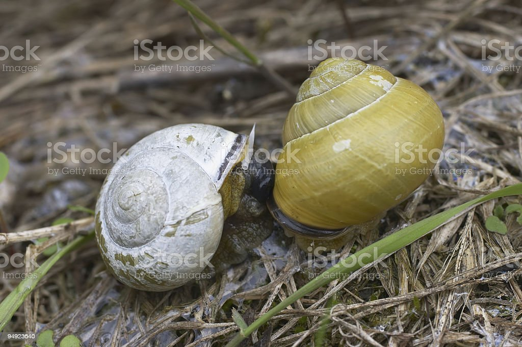 Molluscs two snails snuggle up for sex royalty-free stock photo