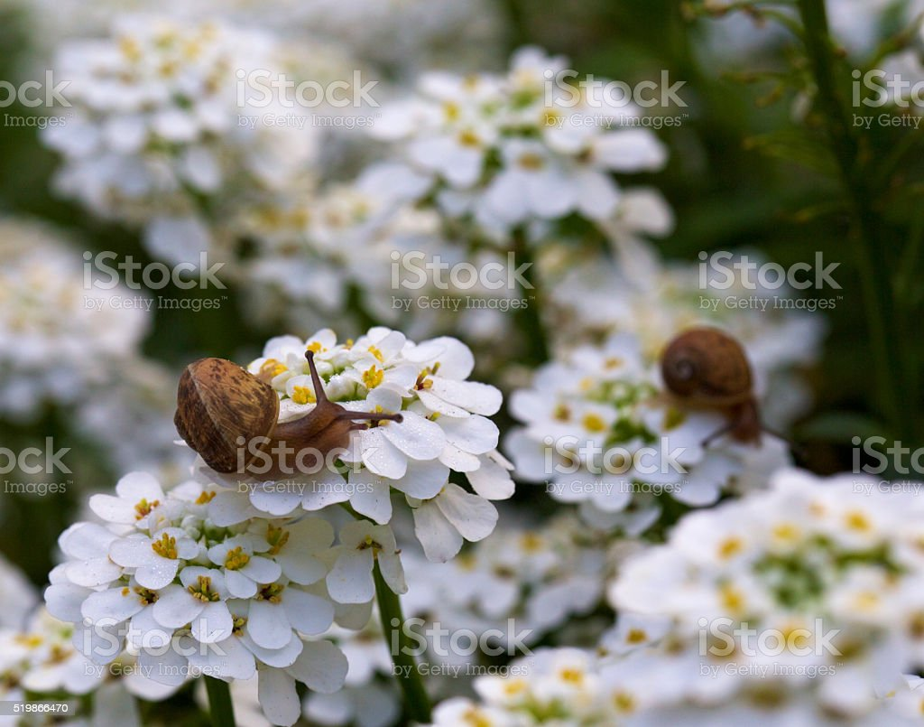 garden snails stock photo