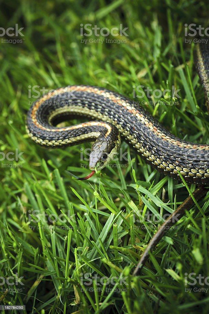Garden Snake stock photo