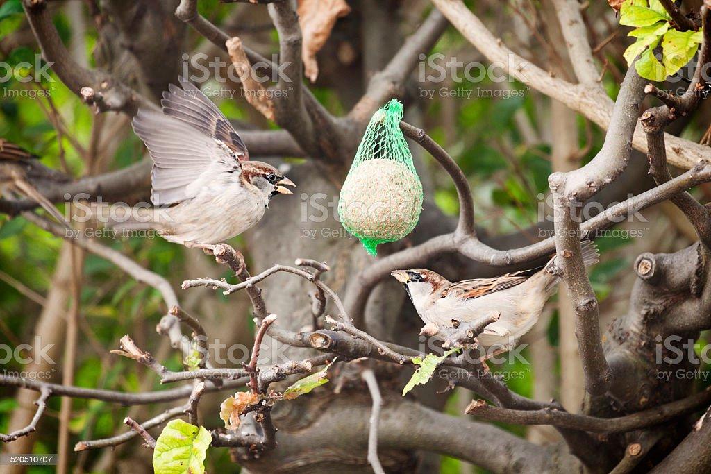 Garden Sparrows feeding on a fat ball stock photo