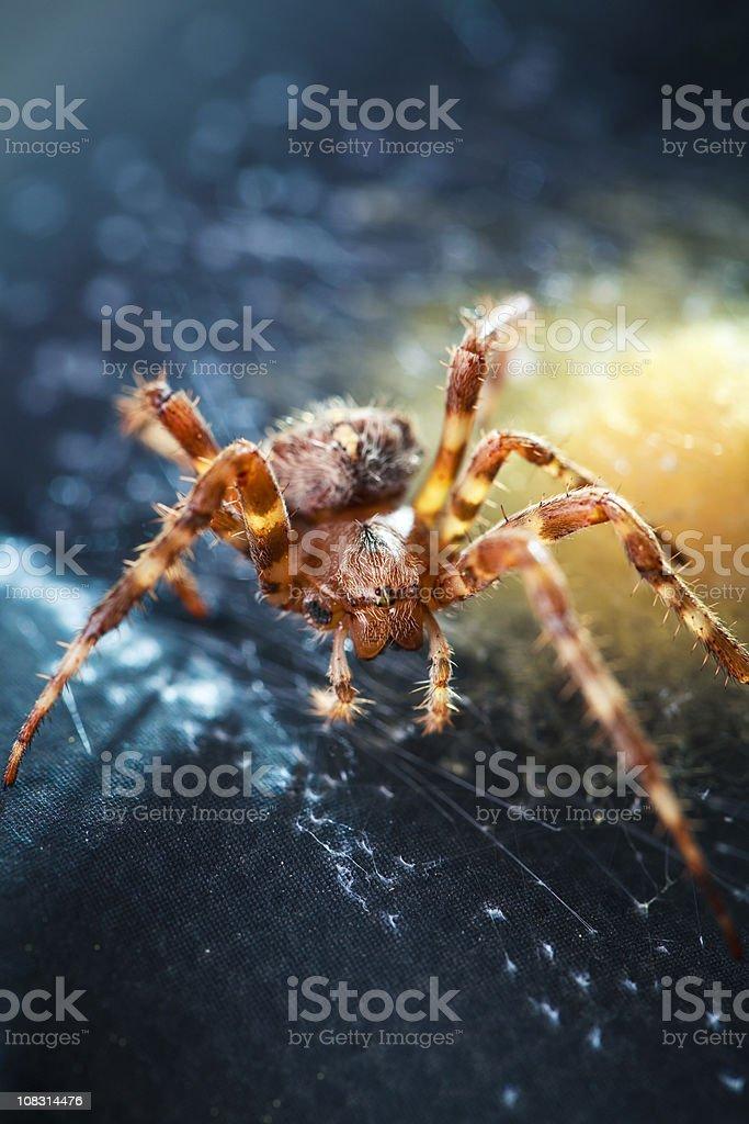 Garden Spider & Egg Sac stock photo