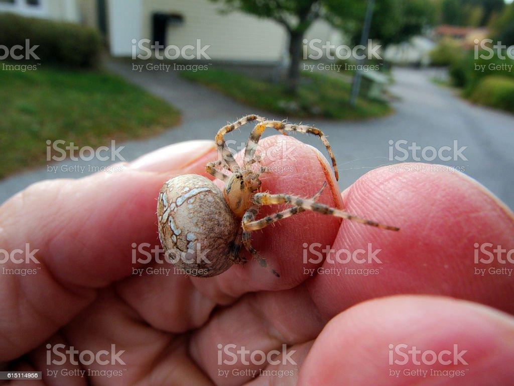 Garden spider in the hand stock photo