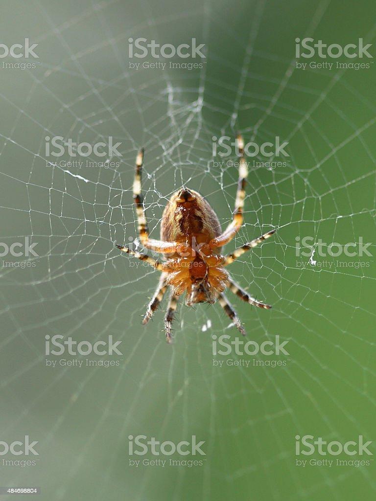 Garden Spider in Web - Bottom View stock photo