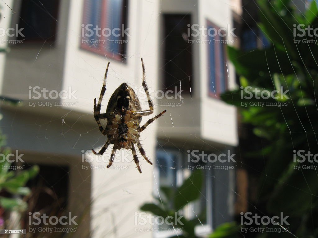 Garden Spider Macro stock photo