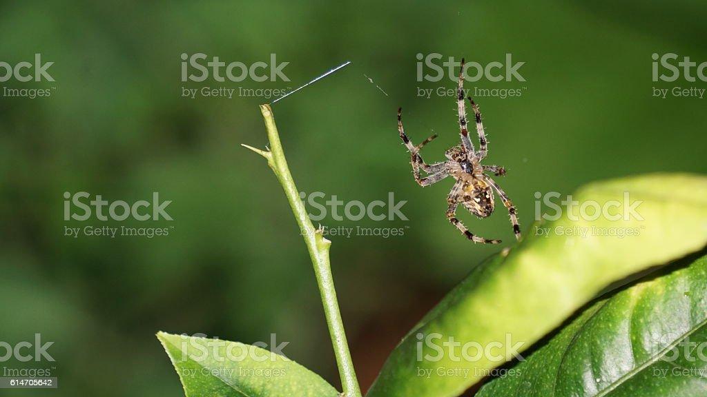 Garden Spider (Araneus Diadematus) stock photo