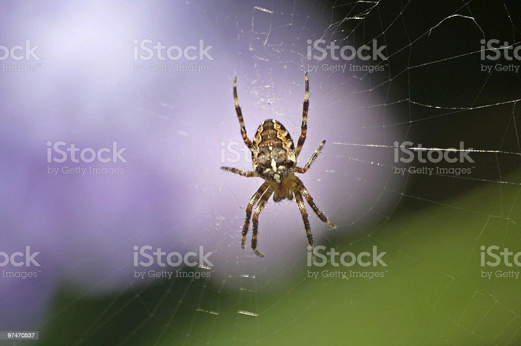 Garden Spider stock photo