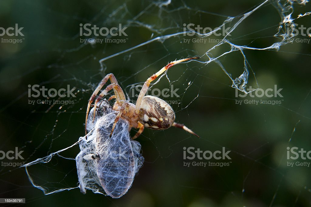 Garden Spider Wraps up Squash Bug royalty-free stock photo