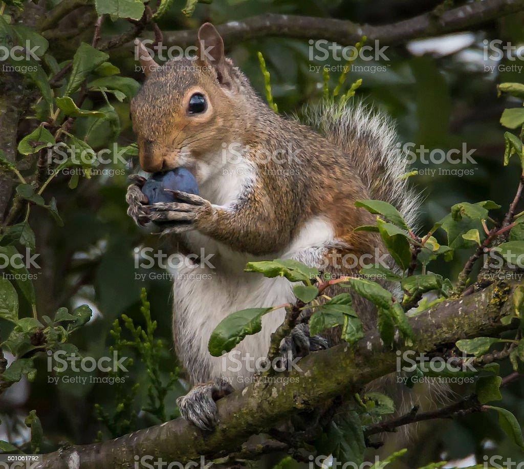 Garden Squirrel snack time stock photo