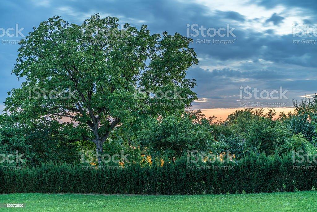 Garden Sunset Yew Tree stock photo