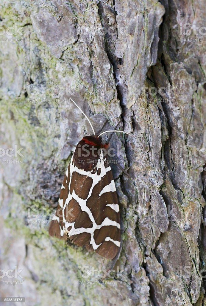Garden tiger moth (Arctia caja) stock photo