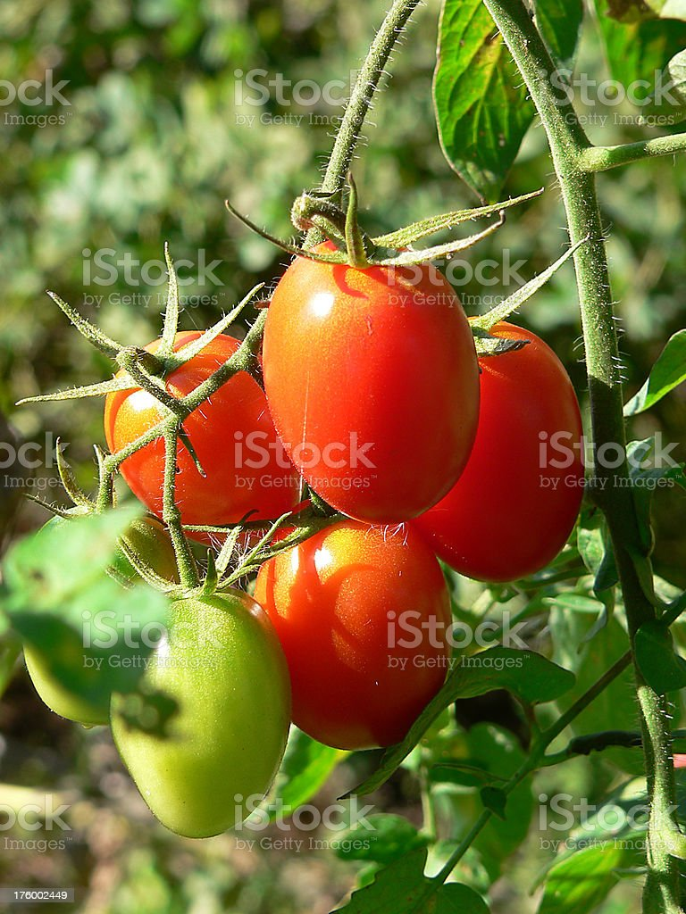 Garden: Tomatoes in late afternoon glow royalty-free stock photo