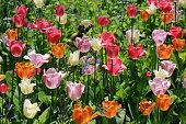 Garden tulips in sunlight
