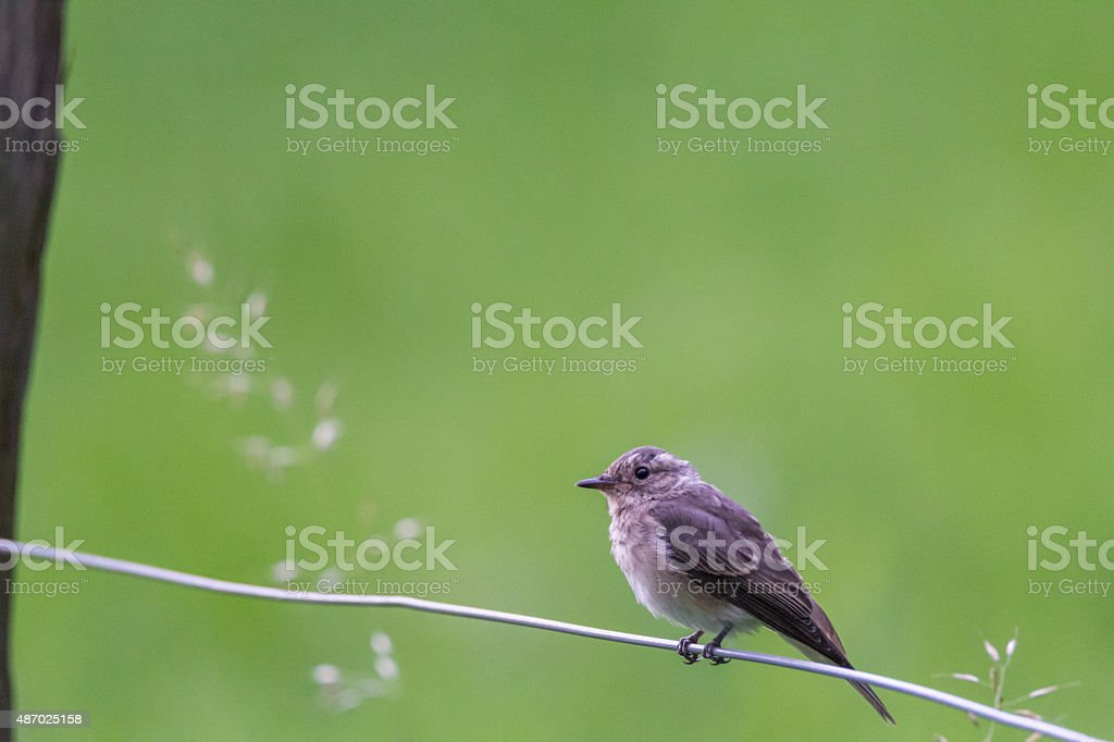 garden warbler stock photo