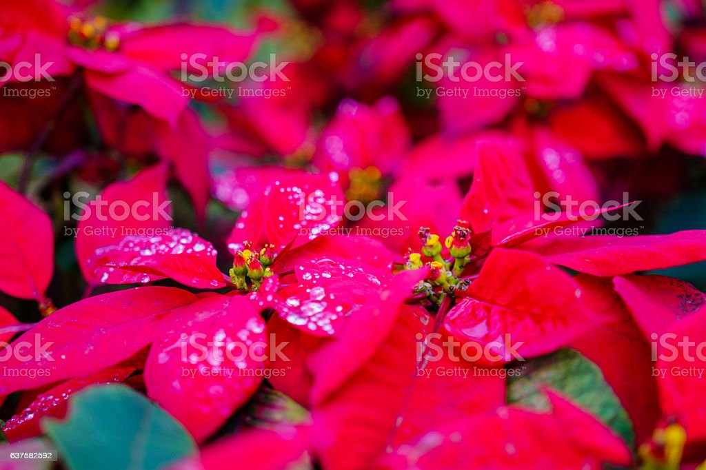 garden with beautiful red Christmas poinsettia flower and a dew stock photo