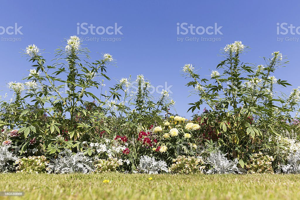 Garden with beautiful white Cleome spinosa against a blue sky royalty-free stock photo