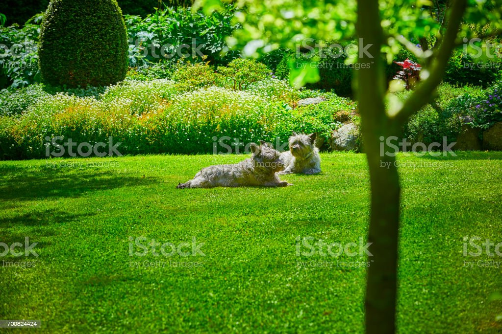 Garden with dogs lying on the lawn stock photo