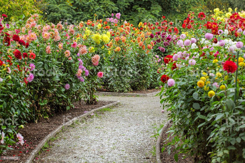 Garden with footpath through flowerbeds of dahlia stock photo