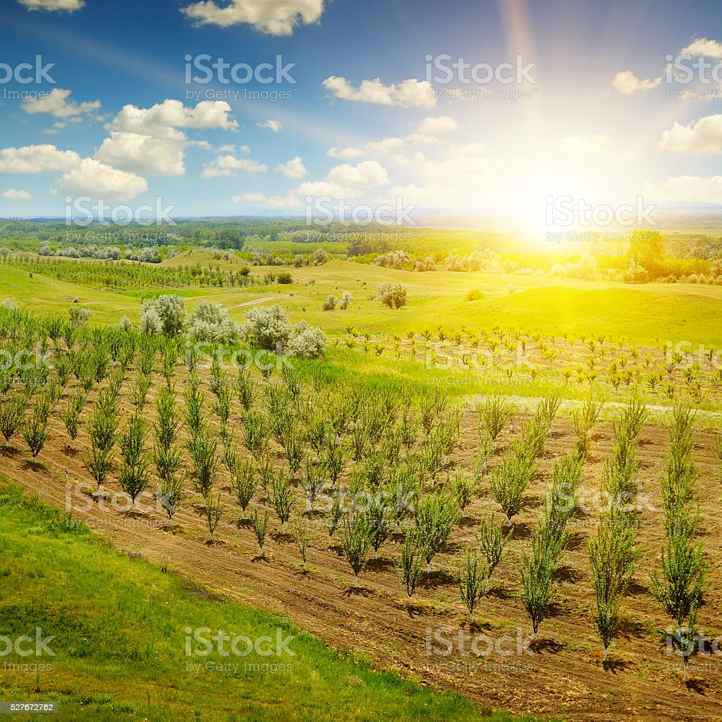 garden with fruit trees and sunrise stock photo