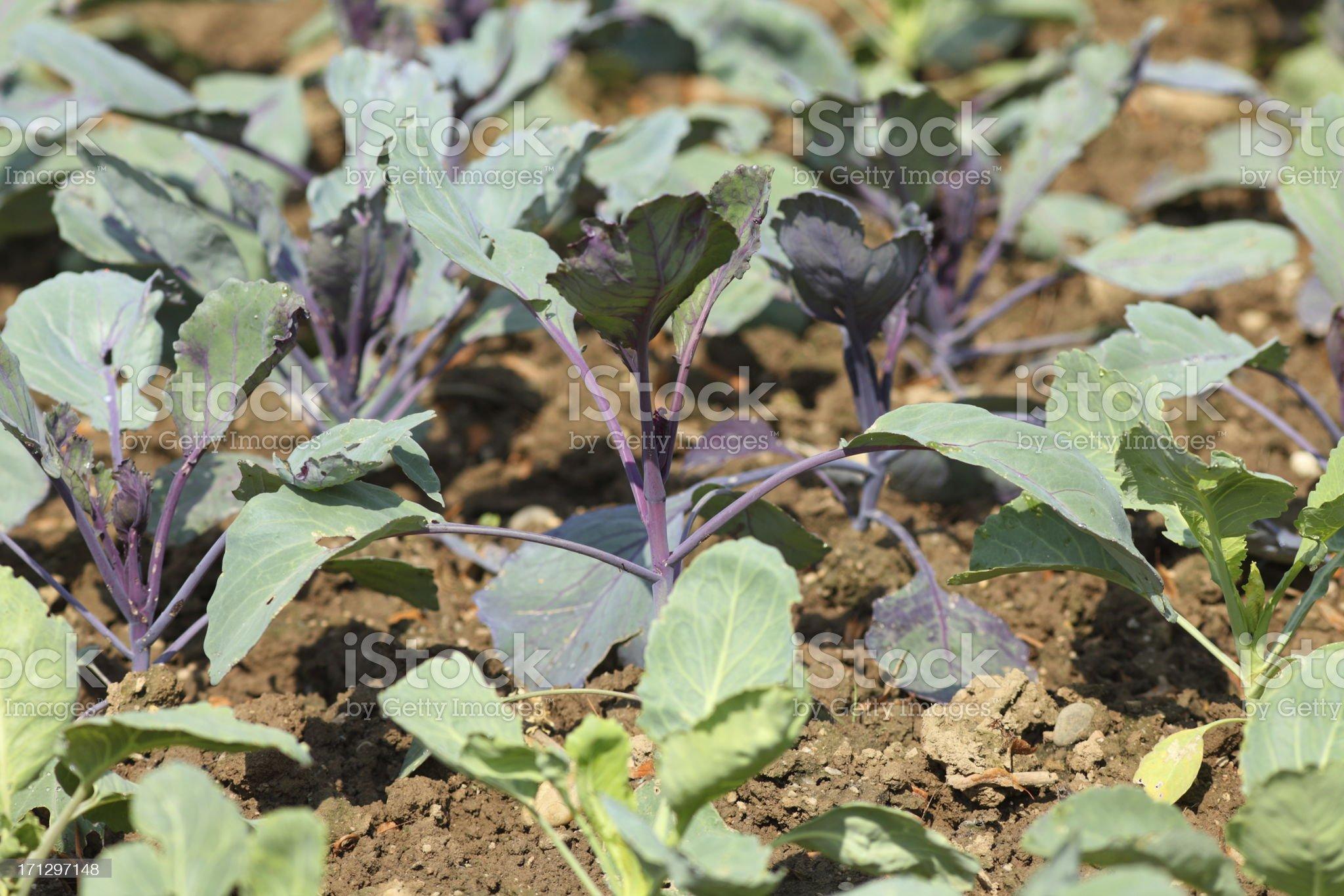 garden with kohlrabi royalty-free stock photo