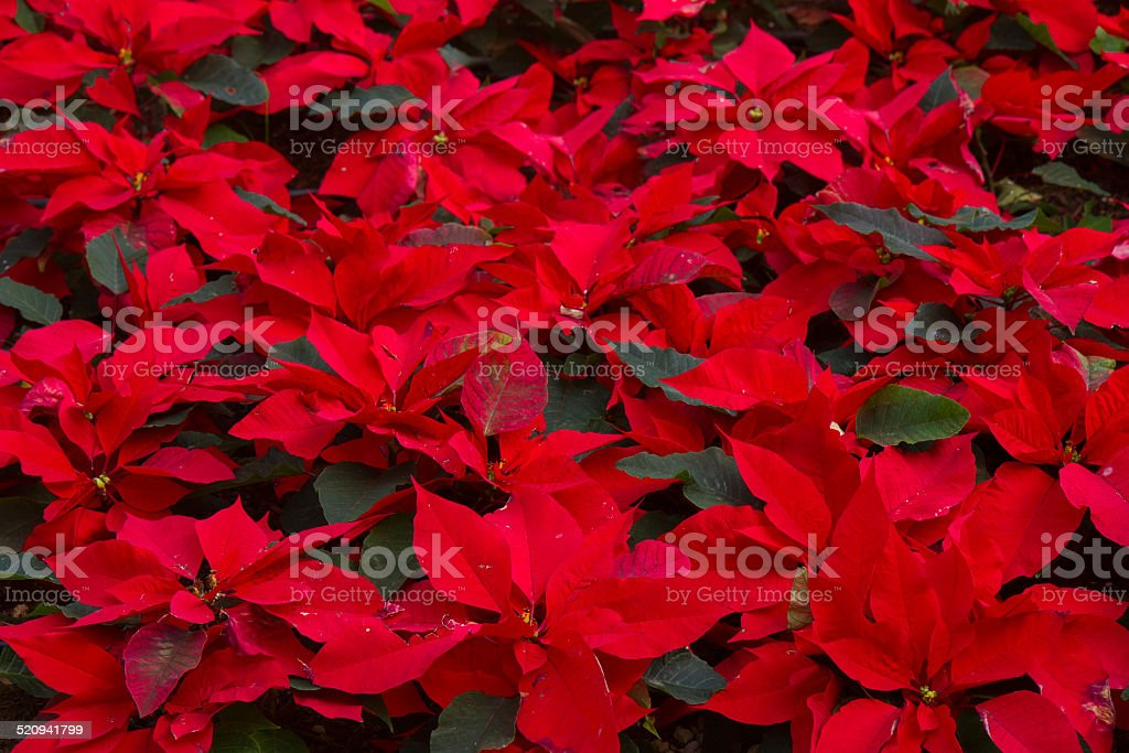 garden with poinsettia flowers or christmas star stock photo