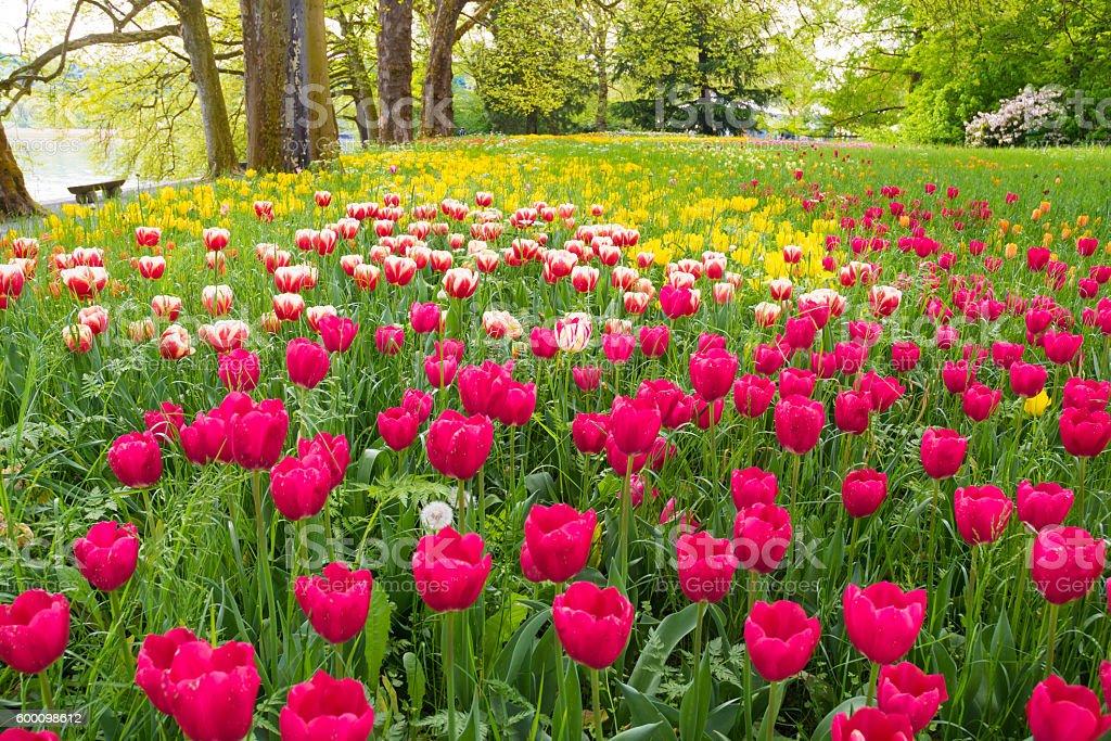 Garden with tulips stock photo