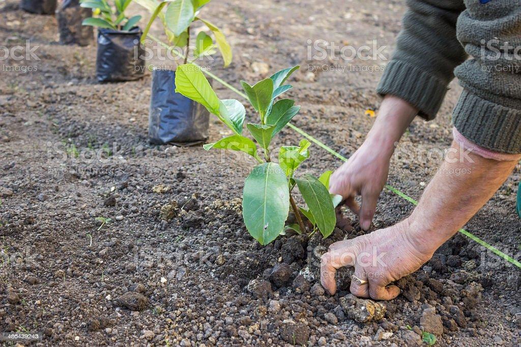 Garden worker hands carefully plant  4 stock photo