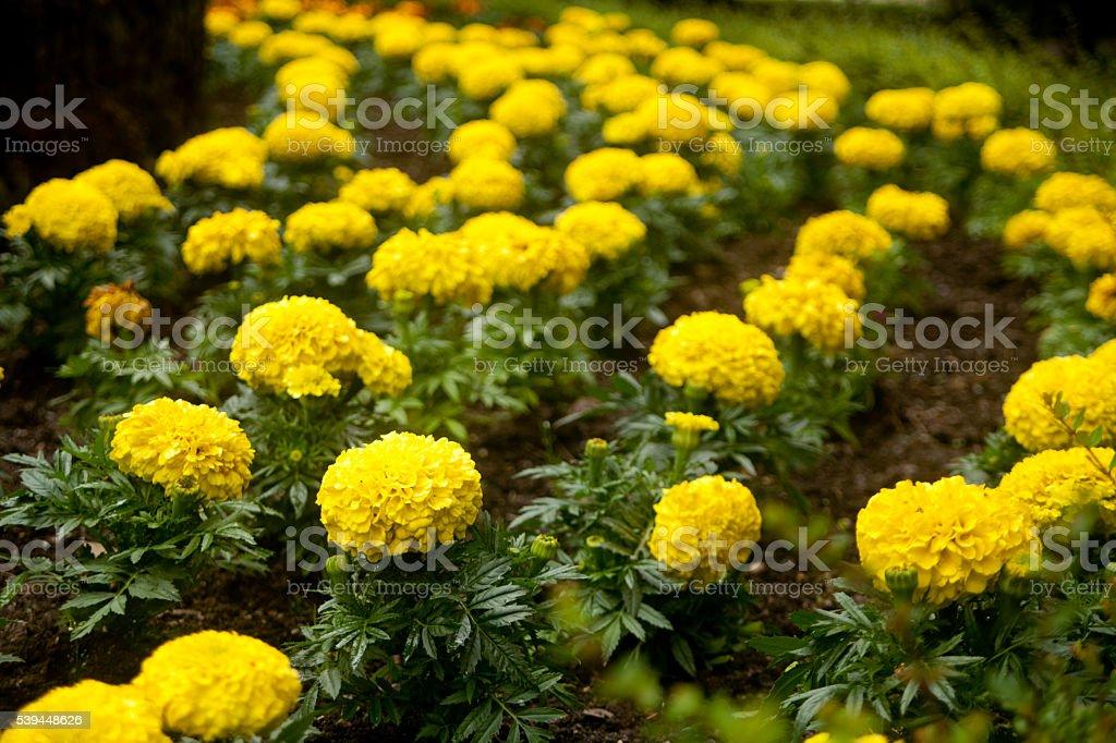 Garden yellow chrysanthemum flower bed stock photo