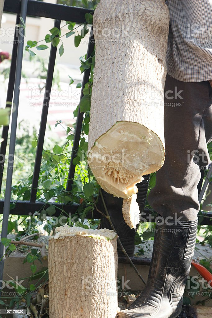 gardener cut the Horse Radish Tree stock photo