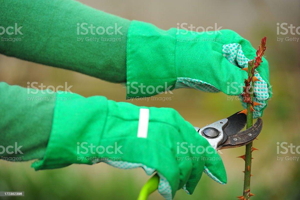 Gardener cutting roses in spring royalty-free stock photo