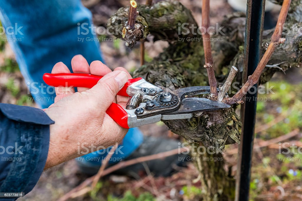 Gardener cutting the vine in the spring stock photo
