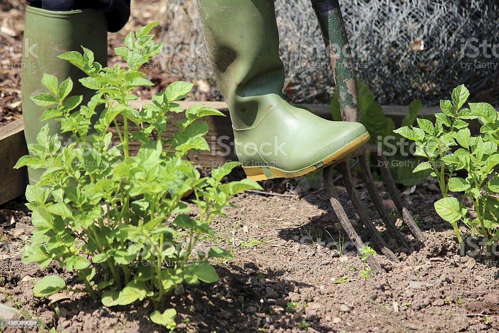 Gardener digging in vegetable garden with old fork / vegetable garden royalty-free stock photo