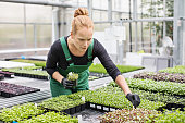 Gardener examining seedling in greenhouse