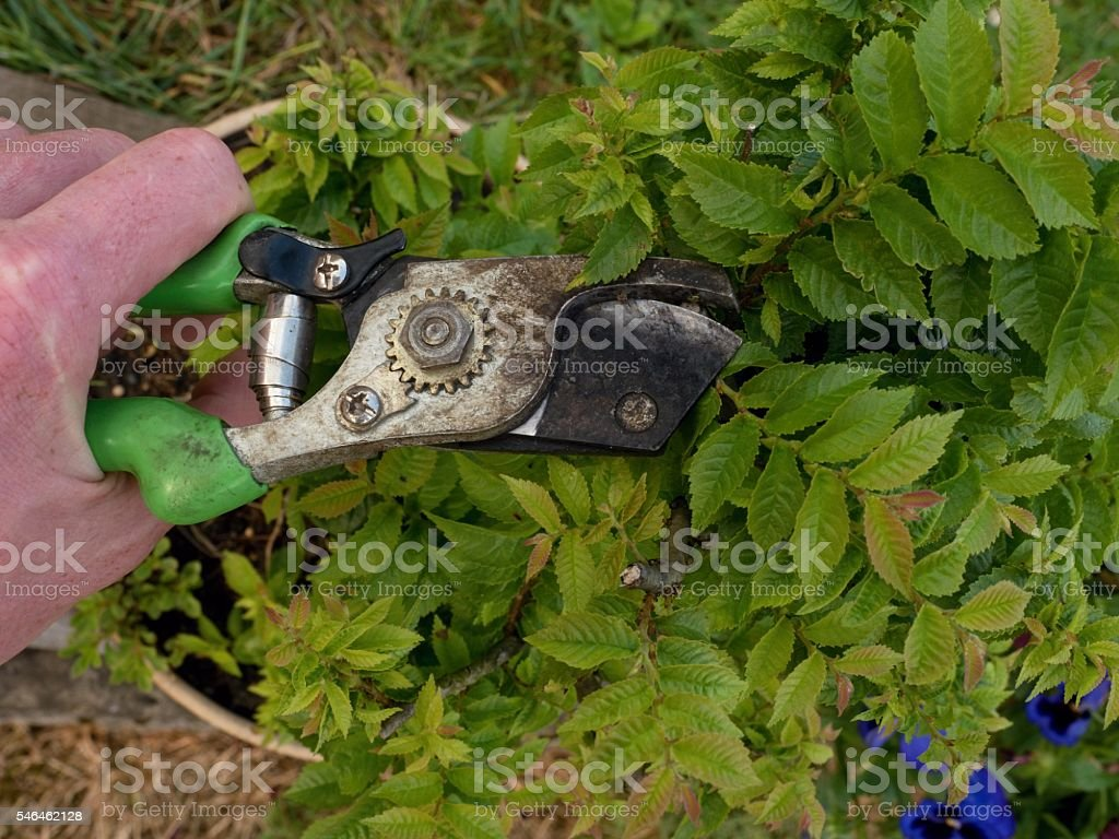 Gardener hand cut branch  on bonsai hornbeam. Cleaning treetop stock photo