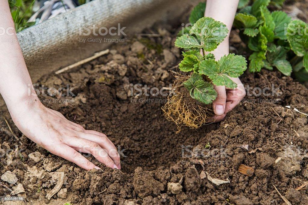 Gardener hands planting strawberry stock photo