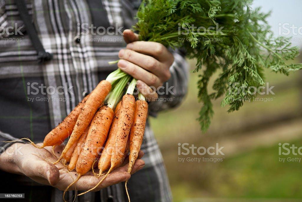 Gardener Holding Fresh Organic Carrots royalty-free stock photo