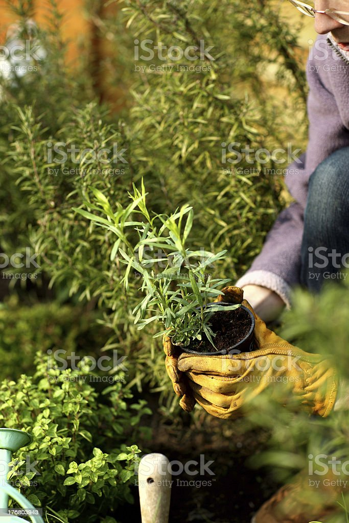 Gardener holding tarragon plant stock photo