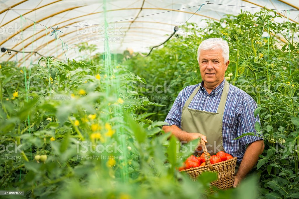 Gardener picking tomatoes in his garden royalty-free stock photo