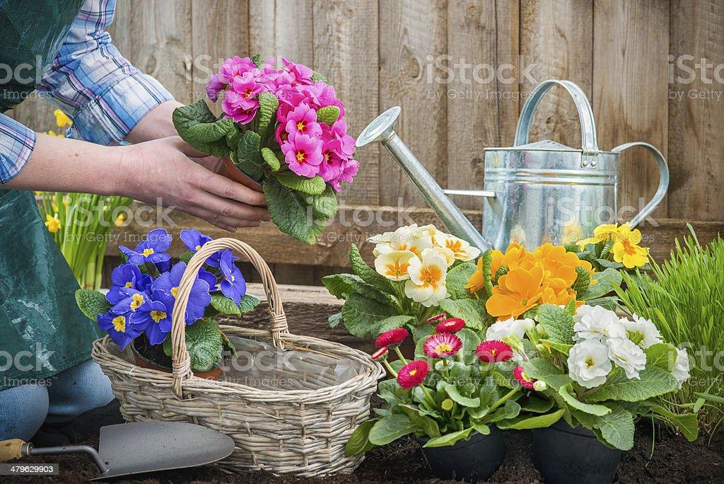 Gardener planting flowers stock photo