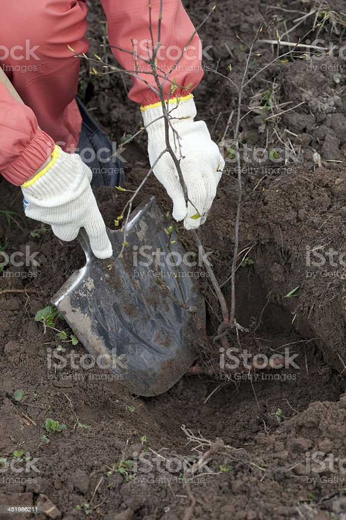 gardener planting the tree in spring stock photo