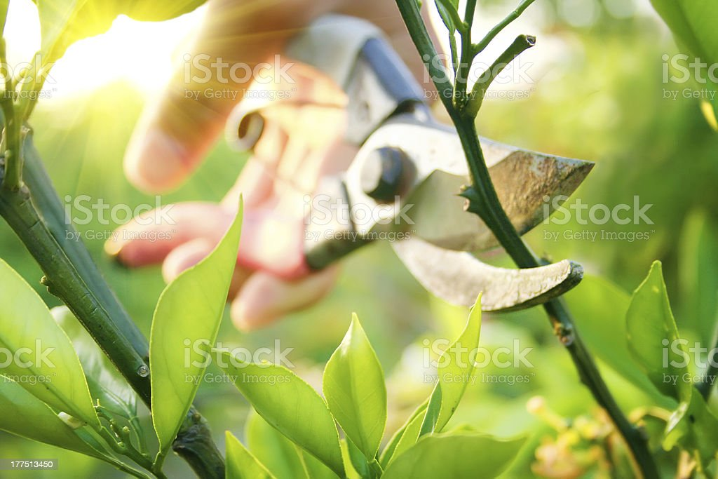 gardener  Prune bushes and small trees stock photo