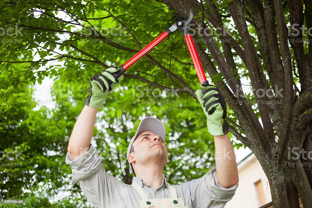 Gardener pruning a tree stock photo