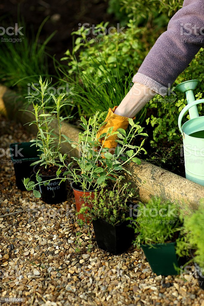 Gardener reaching for baby sweet pea plants. royalty-free stock photo