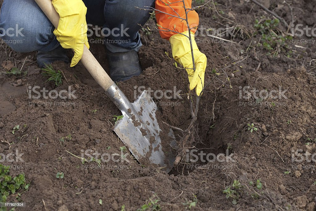 gardener resetting  sprout in soil stock photo