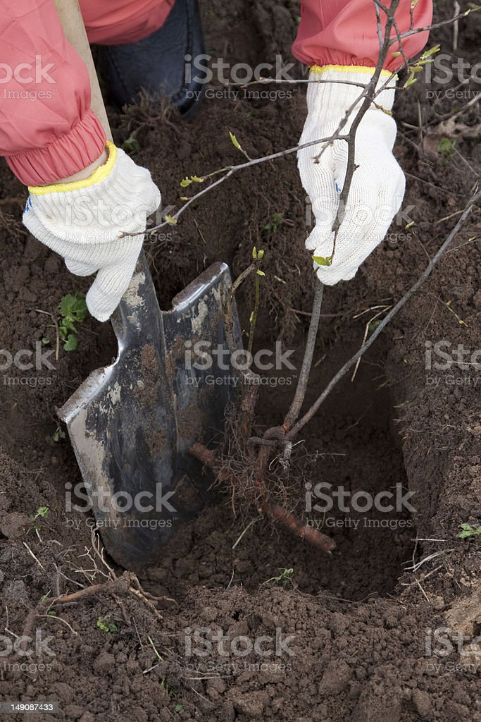 gardener sets  bush sprouts in orchard stock photo