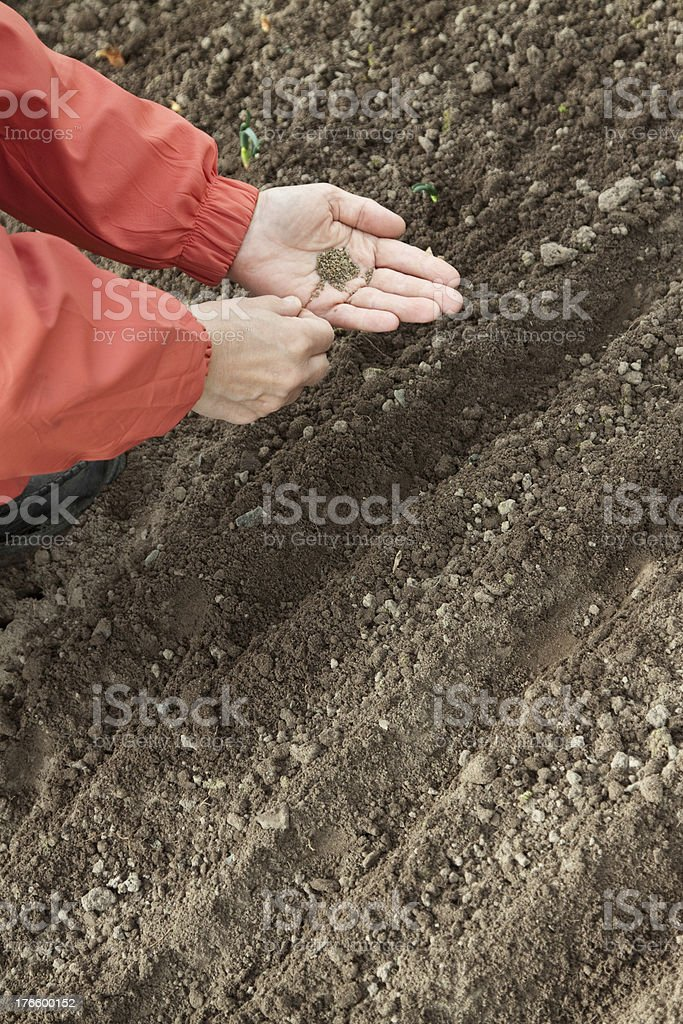 gardener  sows seeds in soil royalty-free stock photo