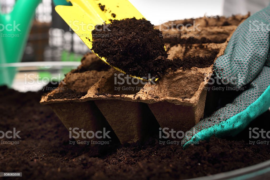 Gardener sows seeds into pots of peat stock photo