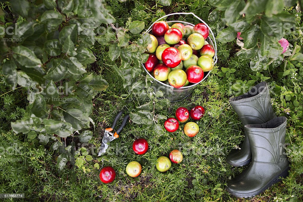 Gardener tools and apple harvest stock photo