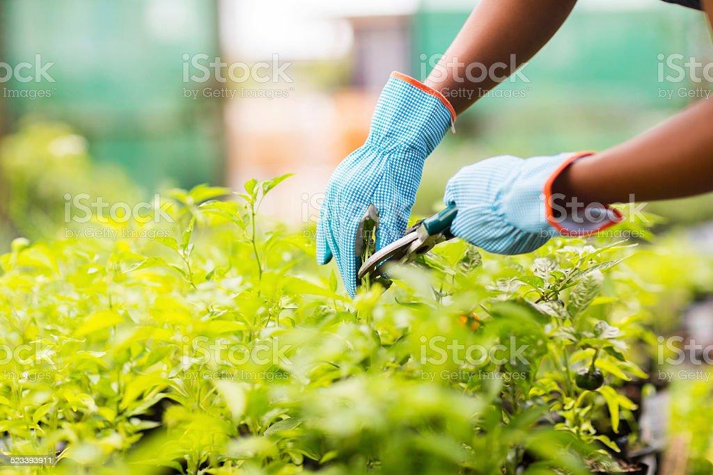gardener trimming plant stock photo