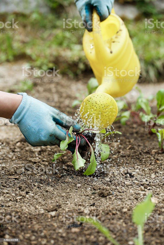 Gardener watering and fertilising freshly planted seedlings stock photo